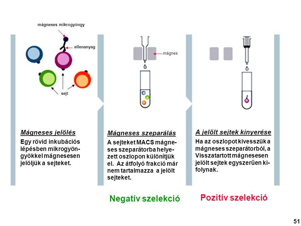 Mágneses jelölés Egy rövid inkubációs lépésben mikrogyön- gyökkel mágnesesen jelöljük a sejteket. Mágneses szeparálás A sejteket MACS mágne- ses szepa
