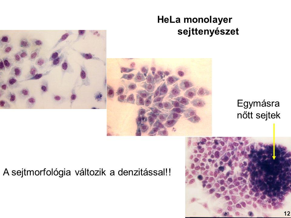 A sejtmorfológia változik a denzitással!! HeLa monolayer sejttenyészet Egymásra nőtt sejtek 12
