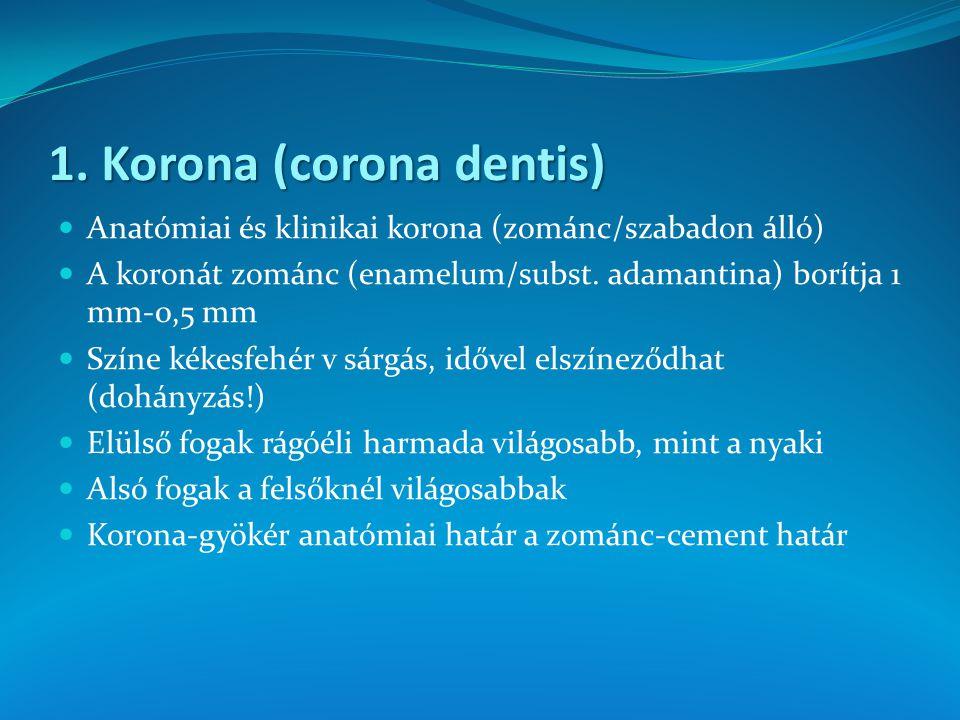 1. Korona (corona dentis) Anatómiai és klinikai korona (zománc/szabadon álló) A koronát zománc (enamelum/subst. adamantina) borítja 1 mm-0,5 mm Színe