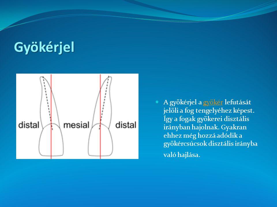 Gyökérjel A gyökérjel a gyökér lefutását jelöli a fog tengelyéhez képest. Így a fogak gyökerei disztális irányban hajolnak. Gyakran ehhez még hozzá ad