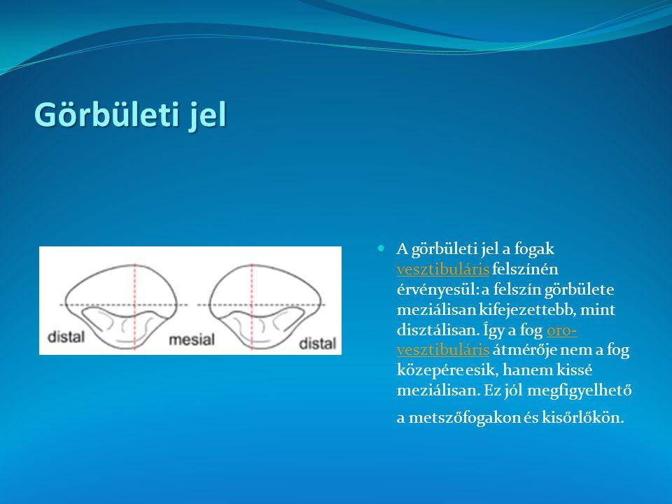 Görbületi jel A görbületi jel a fogak vesztibuláris felszínén érvényesül: a felszín görbülete meziálisan kifejezettebb, mint disztálisan. Így a fog or