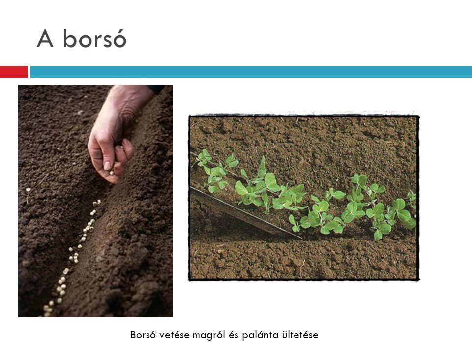 A borsó Borsó vetése magról és palánta ültetése
