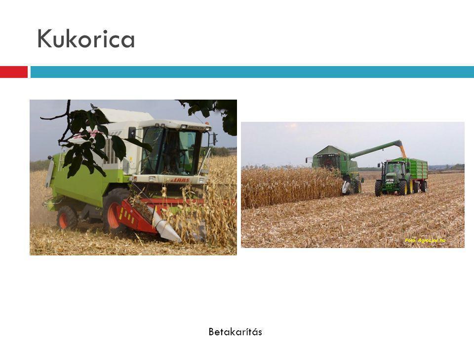 Kukorica Fosztás