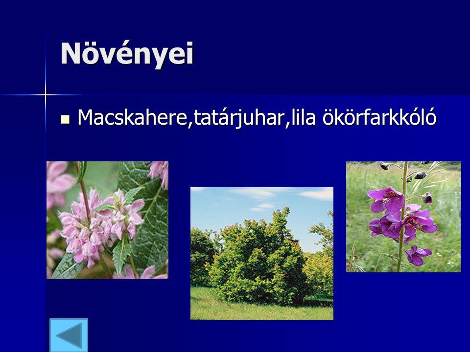 Növényei Macskahere,tatárjuhar,lila ökörfarkkóló Macskahere,tatárjuhar,lila ökörfarkkóló