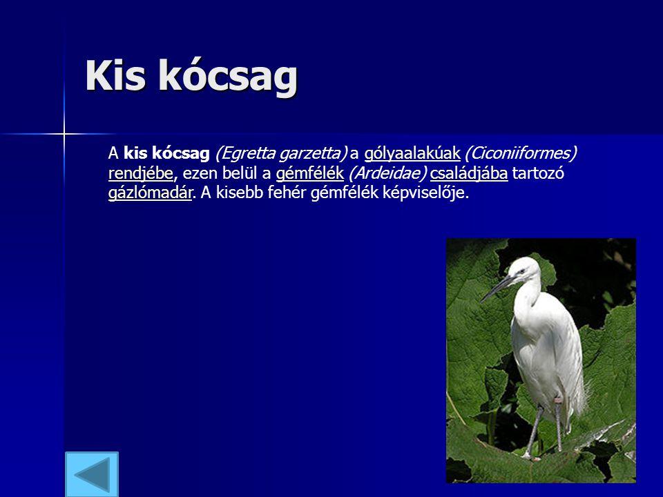 Kis kócsag A kis kócsag (Egretta garzetta) a gólyaalakúak (Ciconiiformes) rendjébe, ezen belül a gémfélék (Ardeidae) családjába tartozó gázlómadár. A