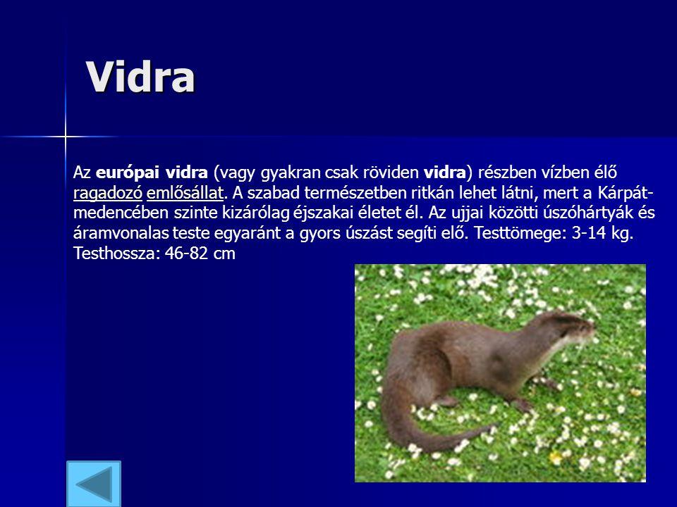 Vidra Az európai vidra (vagy gyakran csak röviden vidra) részben vízben élő ragadozó emlősállat. A szabad természetben ritkán lehet látni, mert a Kárp