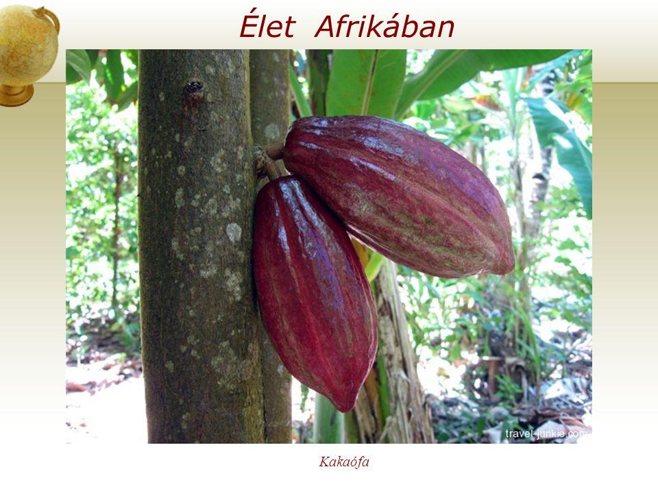 Élet Afrikában Kakaófa