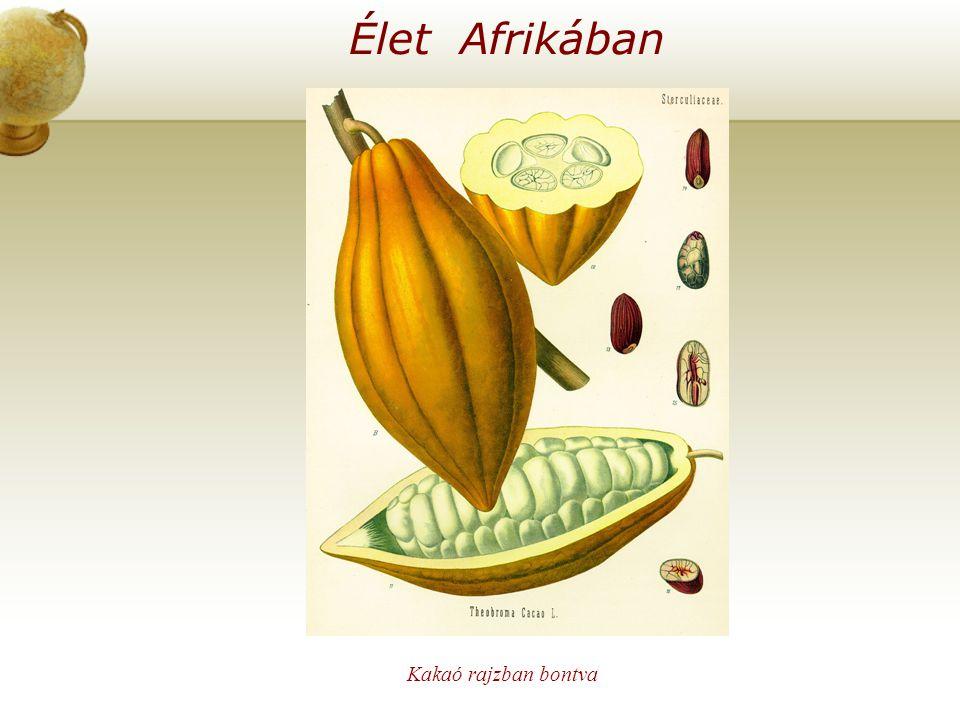Élet Afrikában Kakaó rajzban bontva