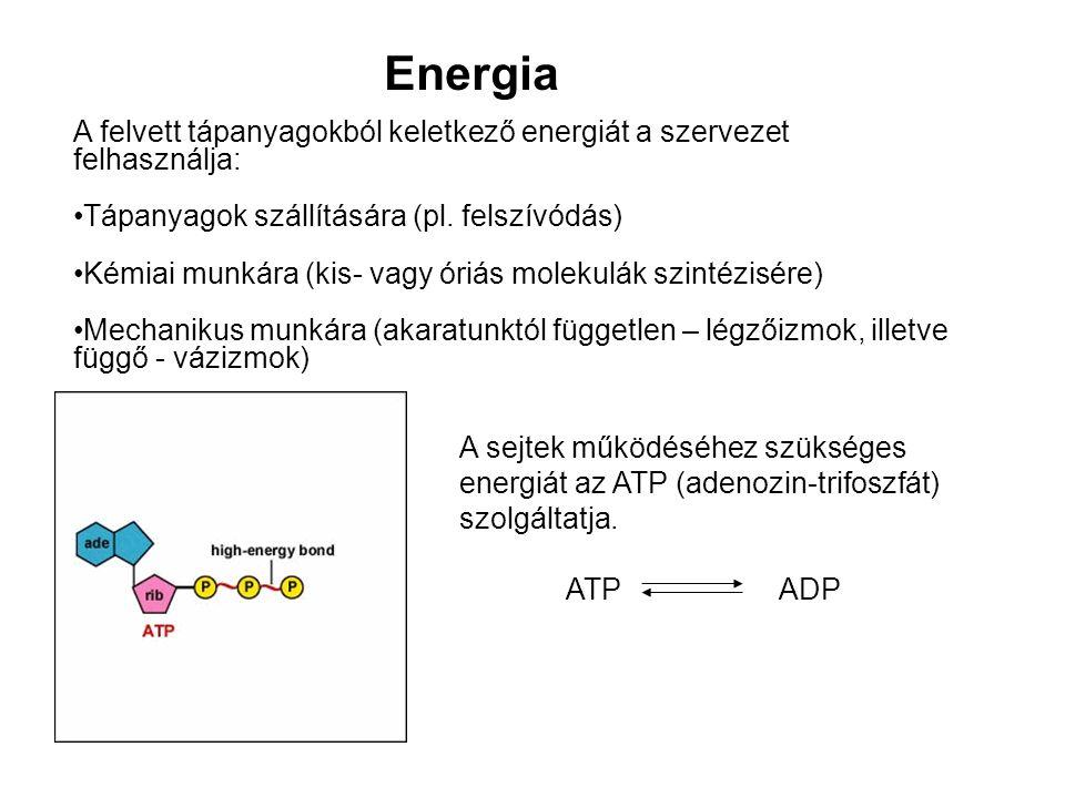 Energia A felvett tápanyagokból keletkező energiát a szervezet felhasználja: Tápanyagok szállítására (pl. felszívódás) Kémiai munkára (kis- vagy óriás