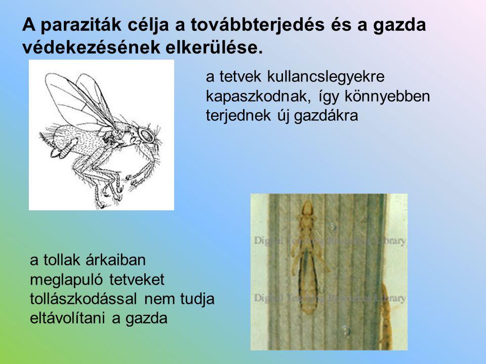 A paraziták célja a továbbterjedés és a gazda védekezésének elkerülése. a tetvek kullancslegyekre kapaszkodnak, így könnyebben terjednek új gazdákra a