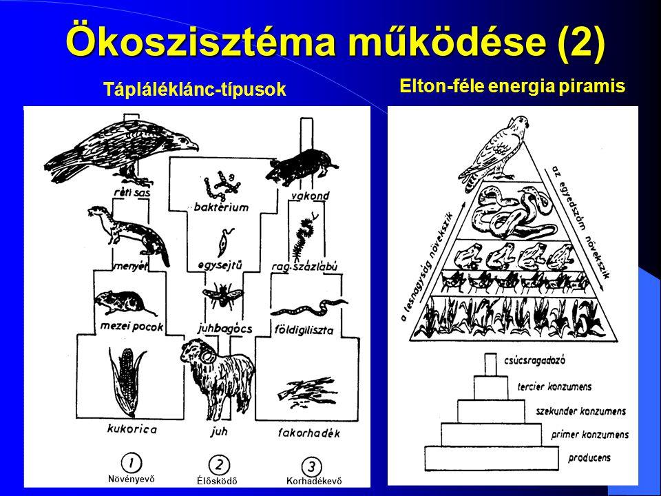 Ökoszisztéma működése (2) Elton-féle energia piramis Tápláléklánc-típusok Növényevő ÉlősködőKorhadékevő
