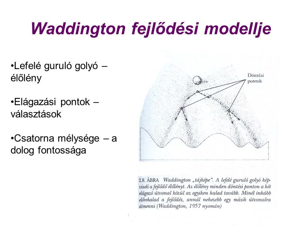 Waddington fejlődési modellje Lefelé guruló golyó – élőlény Elágazási pontok – választások Csatorna mélysége – a dolog fontossága