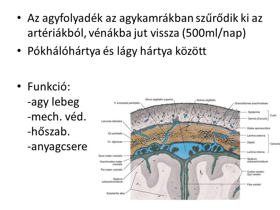 Az agyfolyadék az agykamrákban szűrődik ki az artériákból, vénákba jut vissza (500ml/nap) Pókhálóhártya és lágy hártya között Funkció: -agy lebeg -mec