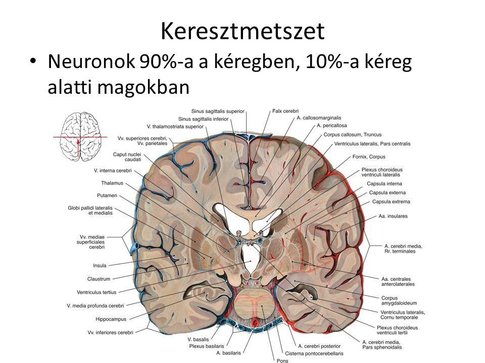 Keresztmetszet Neuronok 90%-a a kéregben, 10%-a kéreg alatti magokban