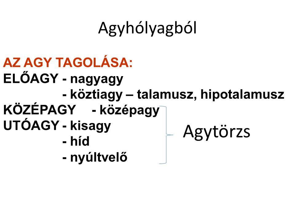 Agyhólyagból AZ AGY TAGOLÁSA: ELŐAGY- nagyagy - köztiagy – talamusz, hipotalamusz KÖZÉPAGY- középagy UTÓAGY- kisagy - híd - nyúltvelő Agytörzs