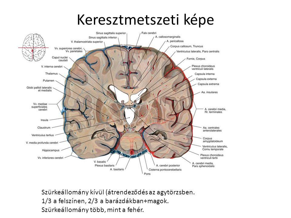 Kapcsolat a perifériával 12 pár agyideg Az agyalapon lép ki Homloklebenytől a nyúltagy felé számozva Rostok sejttestjei az agytörzsben (valódi agyidegek!) I.