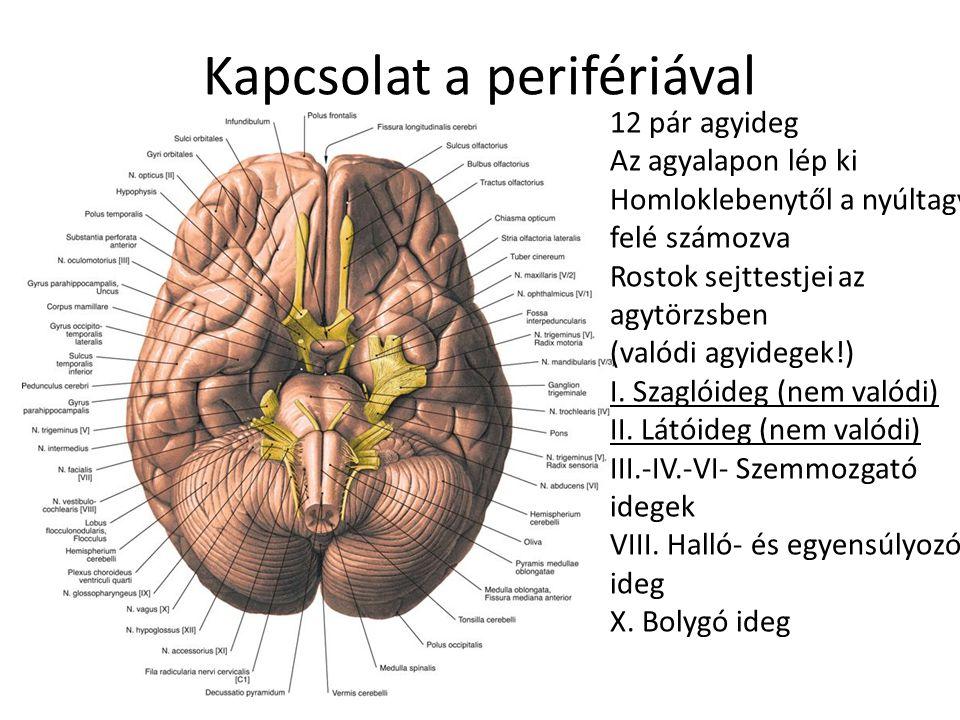 Kapcsolat a perifériával 12 pár agyideg Az agyalapon lép ki Homloklebenytől a nyúltagy felé számozva Rostok sejttestjei az agytörzsben (valódi agyideg