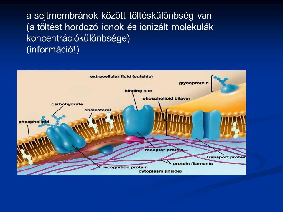 a sejtmembránok között töltéskülönbség van (a töltést hordozó ionok és ionizált molekulák koncentrációkülönbsége) (információ!)