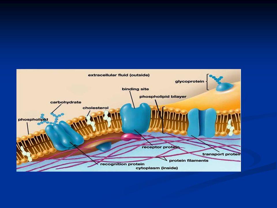 - a sejtszintű transzportfolyamatok, - az izommunka - az idegtevékenység ezt a koncentráció és elektromos töltésbeli különbséget használja fel