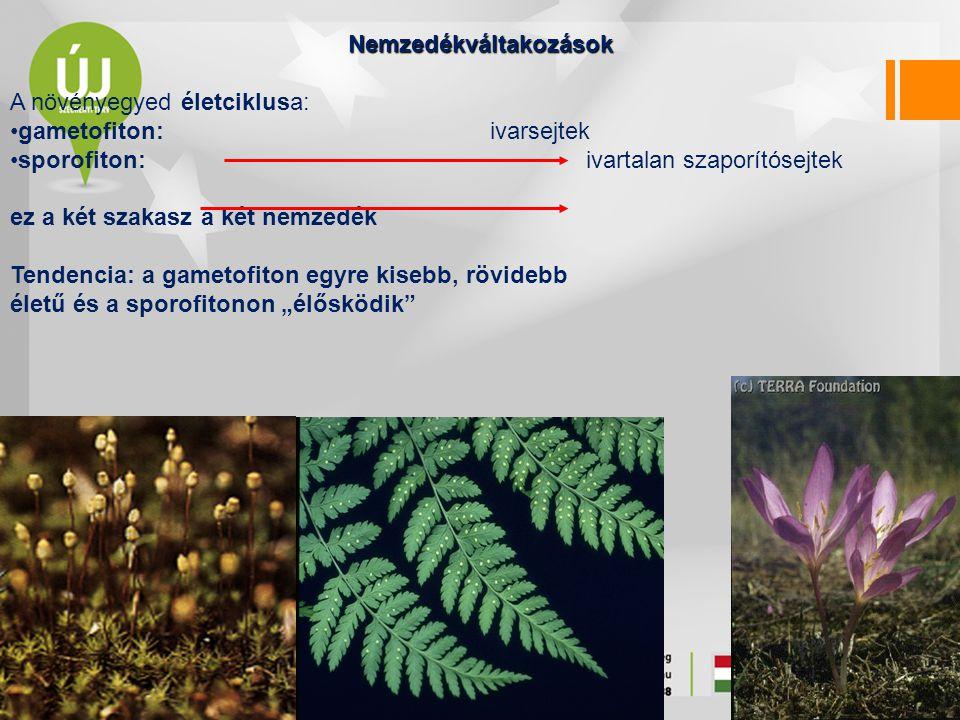 Nemzedékváltakozások A növényegyed életciklusa: gametofiton: ivarsejtek sporofiton: ivartalan szaporítósejtek ez a két szakasz a két nemzedék Tendenci