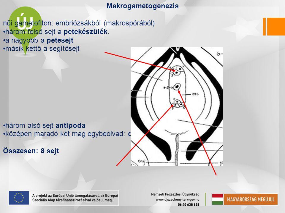 Makrogametogenezis női gametofiton: embriózsákból (makrospórából) három felső sejt a petekészülék. a nagyobb a petesejt másik kettő a segítősejt három