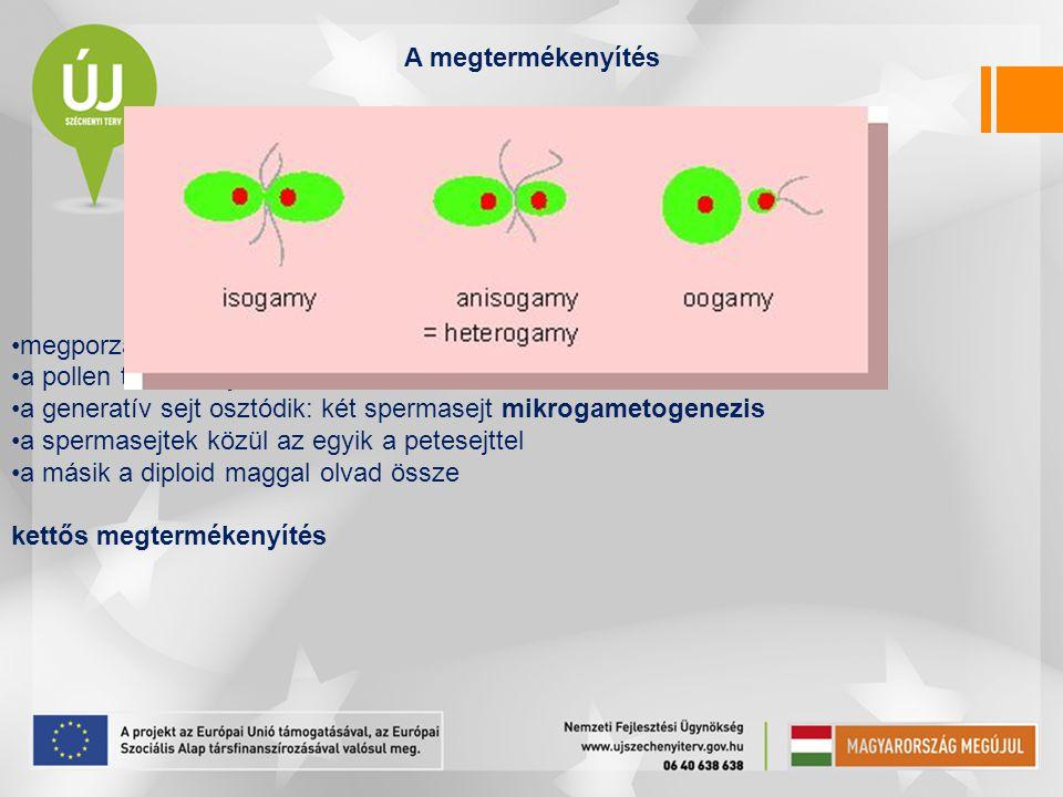 A megtermékenyítés megporzást követi a pollen tömlőt hajt a generatív sejt osztódik: két spermasejt mikrogametogenezis a spermasejtek közül az egyik a