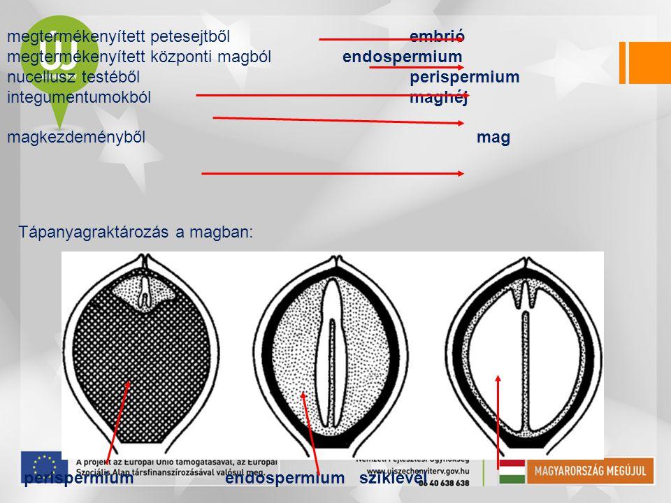 megtermékenyített petesejtbőlembrió megtermékenyített központi magbólendospermium nucellusz testébőlperispermium integumentumokból maghéj magkezdemény