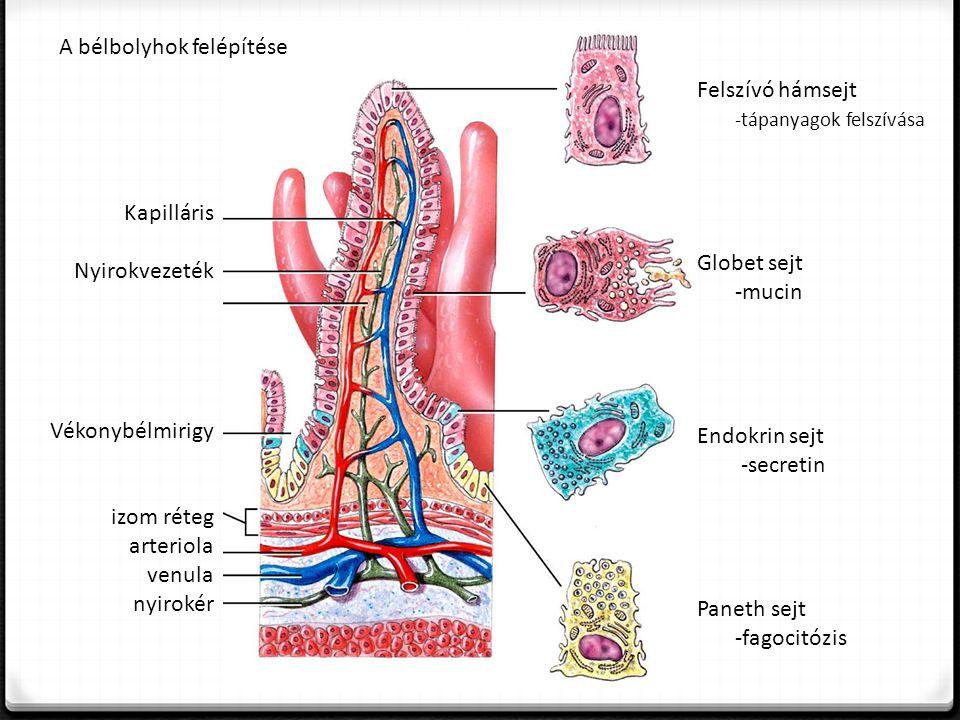 Felszívó hámsejt -tápanyagok felszívása Globet sejt -mucin Endokrin sejt -secretin Paneth sejt -fagocitózis Kapilláris Nyirokvezeték Vékonybélmirigy izom réteg arteriola venula nyirokér A bélbolyhok felépítése