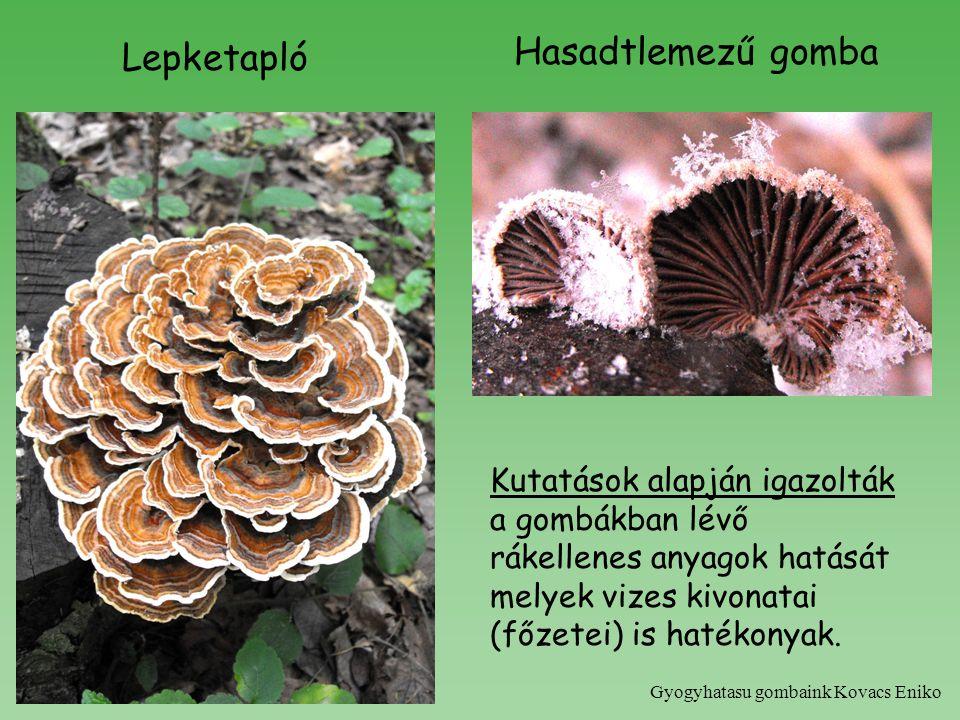 Lepketapló Hasadtlemezű gomba Kutatások alapján igazolták a gombákban lévő rákellenes anyagok hatását melyek vizes kivonatai (főzetei) is hatékonyak.