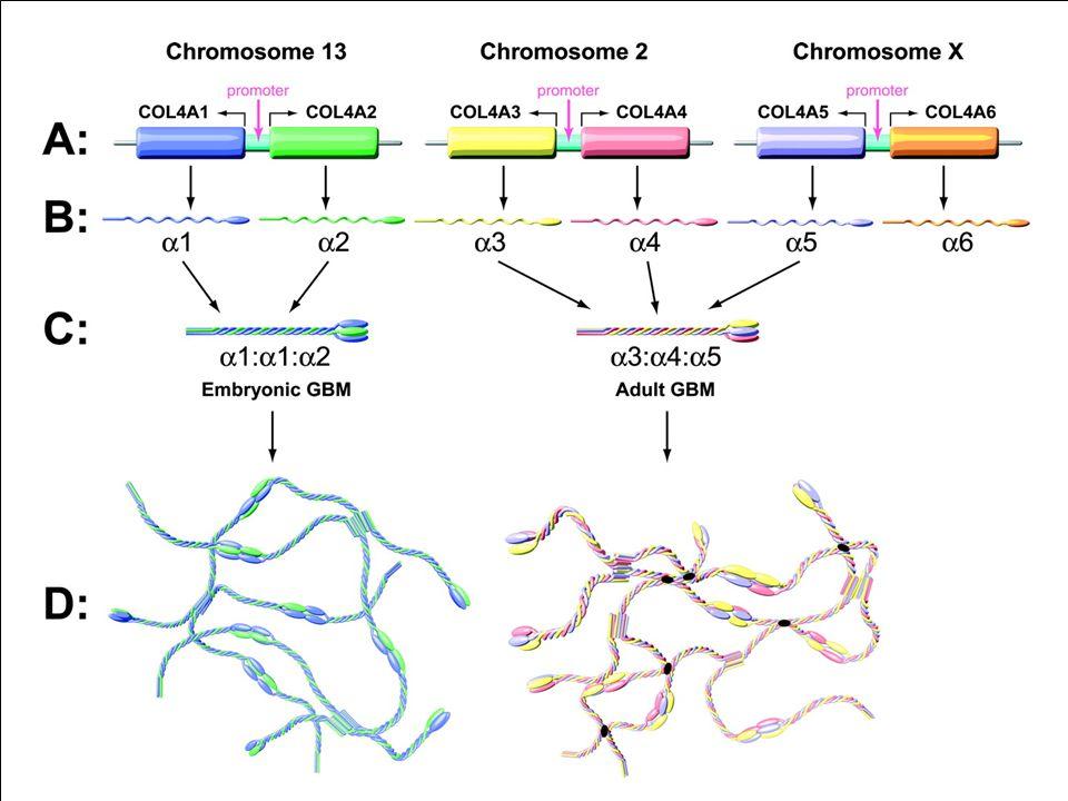 A IV-es típusú kollagén (a GBM fő strukturális komponense) 6 féle alfa-láncát különböző gének kódolják LáncGénKromoszómaTársuló betegség Alfa1(IV)COL(IV)A113q34Nincs Alfa2(IV)COL(IV)A213q34Nincs Alfa3(IV)COL(IV)A3, 52 exon2q36-37AR-AS, VBMN, AD-AS Alfa4(IV)COL(IV)A4, 48 exon2q36-37 Alfa5(IV)COL(IV)A5, 51 exonXq22.3XD-AS (+ néhány esetben diffúz leiomyomatosis) Alfa6(IV)COL(IV)A6Xq22-25Diffúz leiomyomatosis