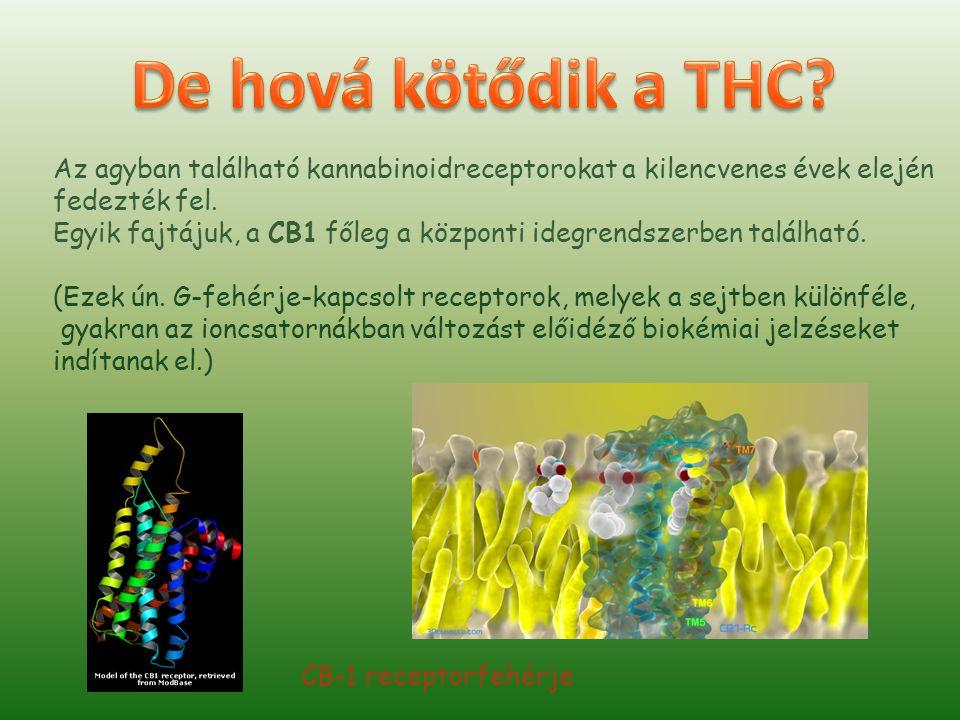 A CB1 az egyik leggyakoribb G-fehérje-kapcsolt receptor az agyban.