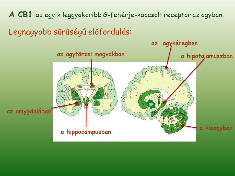 Kannabinoidreceptorok csak bizonyos idegsejteken és nagyon specifikus pozícióban találhatók meg.