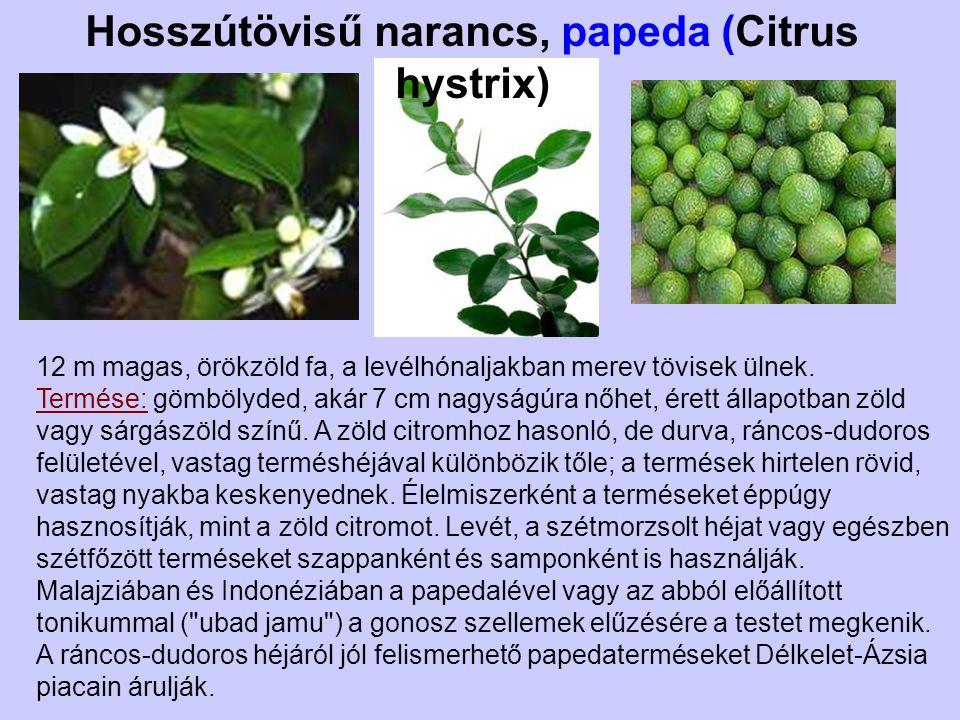 Kumkvat, törpemandarin (Fortunella margarita) Őshazája Kína és Indokína, de már az ókorban a Közel-Keleten is termesztették.
