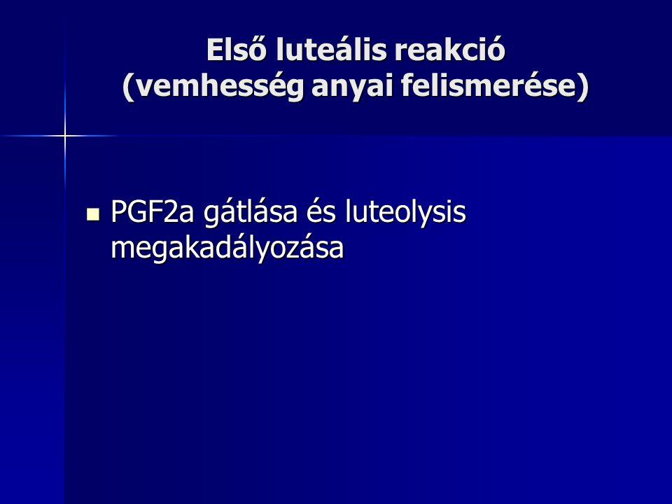 Első luteális reakció (vemhesség anyai felismerése) PGF2a gátlása és luteolysis megakadályozása PGF2a gátlása és luteolysis megakadályozása