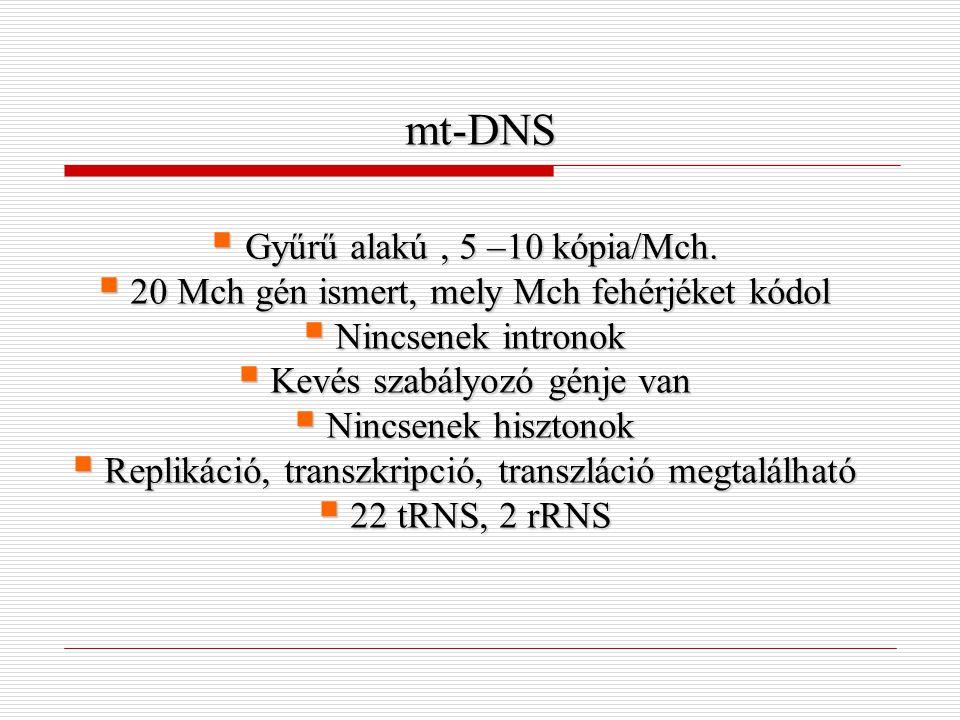 mt-DNS  Gyűrű alakú, 5 –10 kópia/Mch.  20 Mch gén ismert, mely Mch fehérjéket kódol  Nincsenek intronok  Kevés szabályozó génje van  Nincsenek hi
