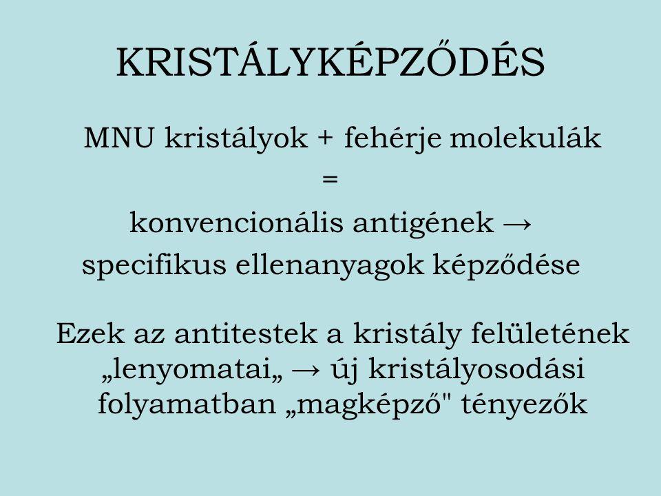 KRISTÁLYKÉPZŐDÉS MNU kristályok + fehérje molekulák = konvencionális antigének → specifikus ellenanyagok képződése Ezek az antitestek a kristály felül