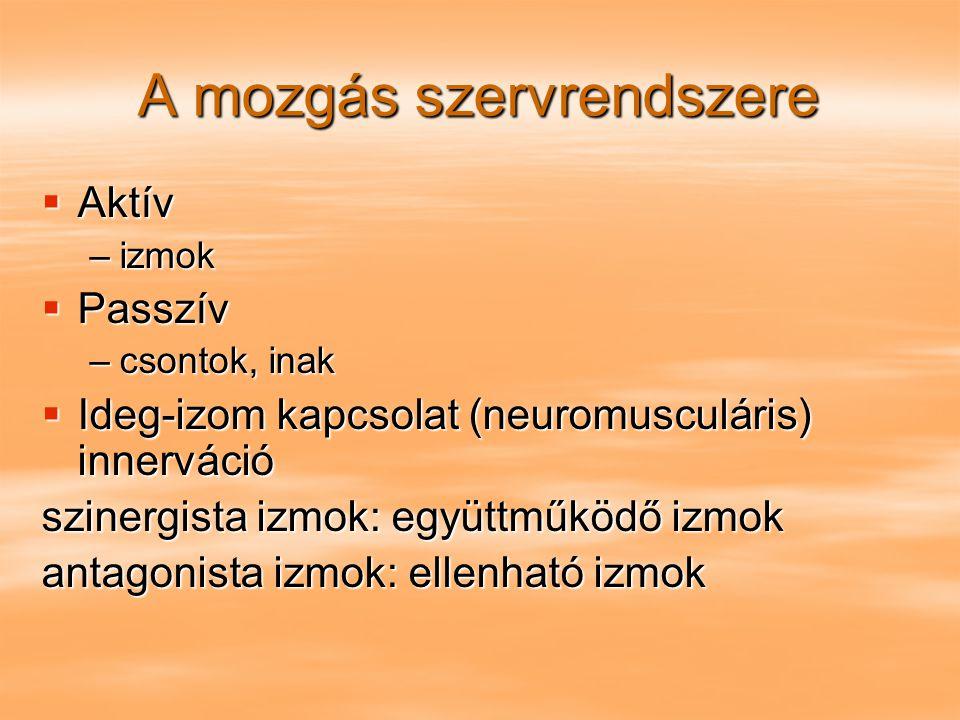 A mozgás szervrendszere  Aktív –izmok  Passzív –csontok, inak  Ideg-izom kapcsolat (neuromusculáris) innerváció szinergista izmok: együttműködő izm