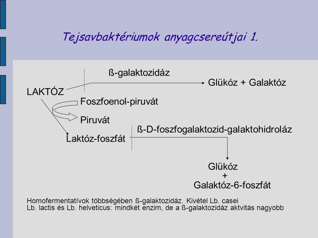 Tejsavbaktériumok anyagcsereútjai 1. ß-galaktozidáz Glükóz + Galaktóz LAKTÓZ Foszfoenol-piruvát Piruvát ß-D-foszfogalaktozid-galaktohidroláz Laktóz-fo