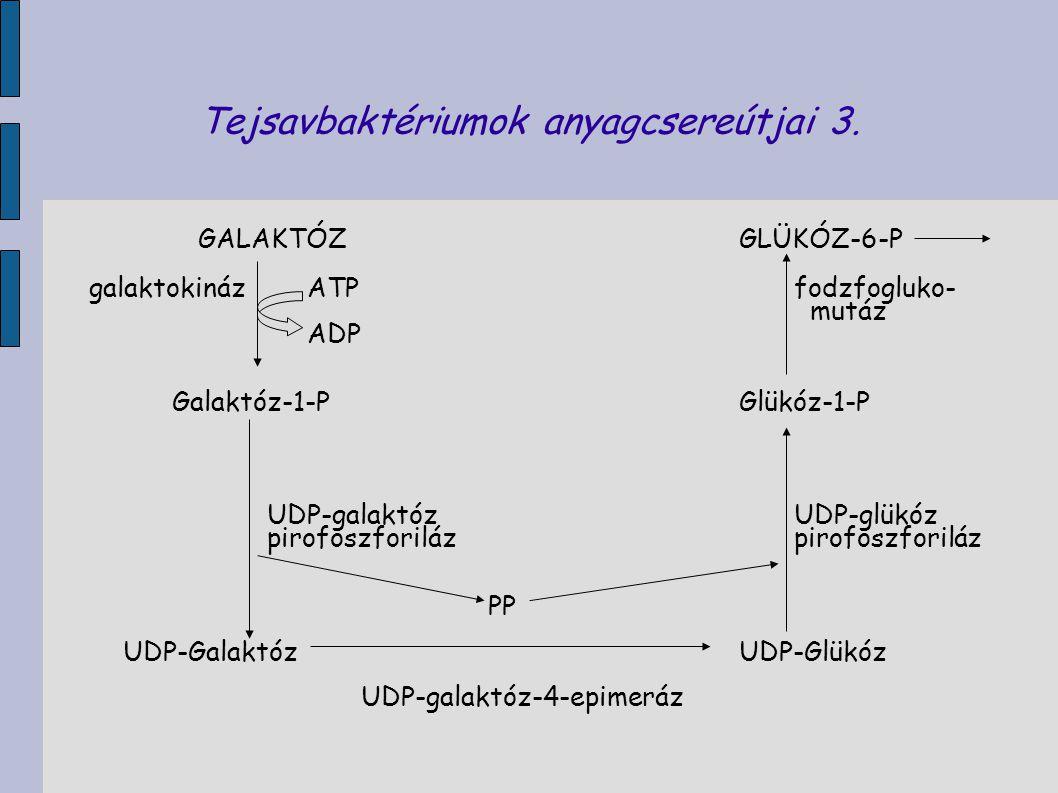 Tejsavbaktériumok anyagcsereútjai 3. GALAKTÓZGLÜKÓZ-6-P galaktokináz ATP fodzfogluko- mutáz ADP Galaktóz-1-P Glükóz-1-P UDP-galaktóz UDP-glükóz pirofo
