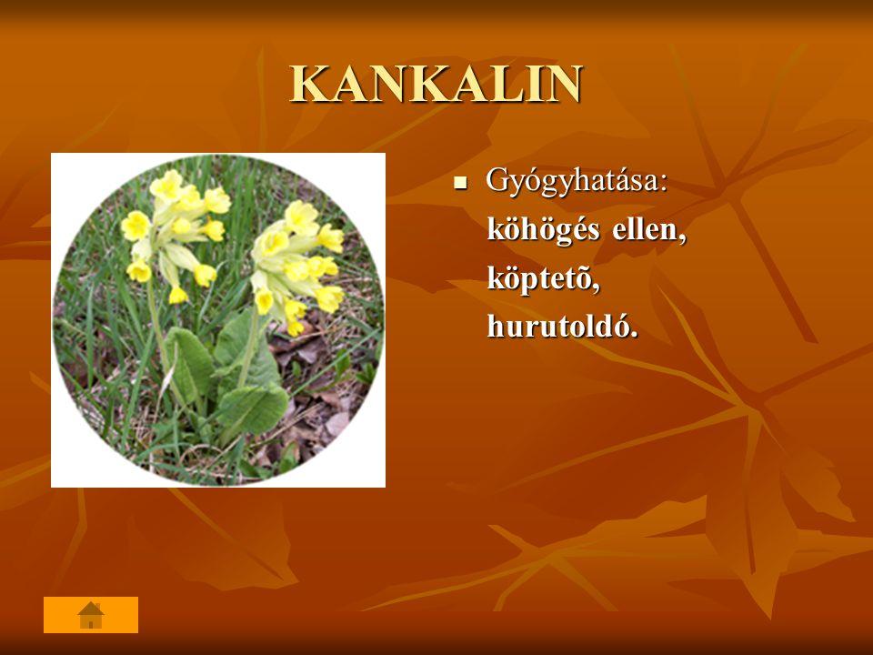 KANKALIN Gyógyhatása: Gyógyhatása: köhögés ellen, köhögés ellen, köptetõ, köptetõ, hurutoldó. hurutoldó.