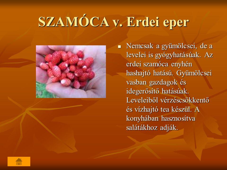 SZAMÓCA v. Erdei eper Nemcsak a gyümölcsei, de a levelei is gyógyhatásúak. Az erdei szamóca enyhén hashajtó hatású. Gyümölcsei vasban gazdagok és ideg