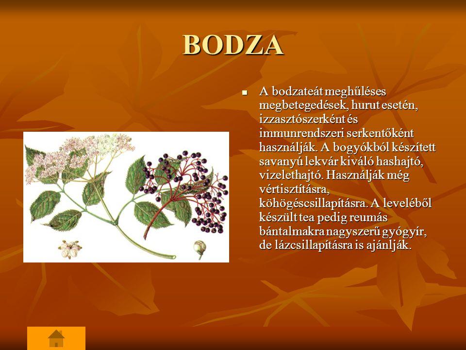 BODZA A bodzateát meghűléses megbetegedések, hurut esetén, izzasztószerként és immunrendszeri serkentőként használják.