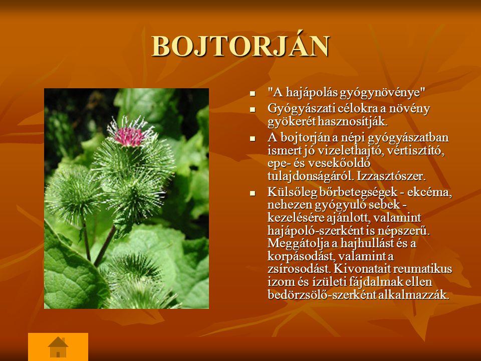BOJTORJÁN A hajápolás gyógynövénye A hajápolás gyógynövénye Gyógyászati célokra a növény gyökerét hasznosítják.