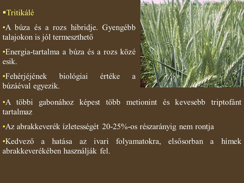  Tritikálé A búza és a rozs hibridje. Gyengébb talajokon is jól termeszthető Energia-tartalma a búza és a rozs közé esik. Fehérjéjének biológiai érté
