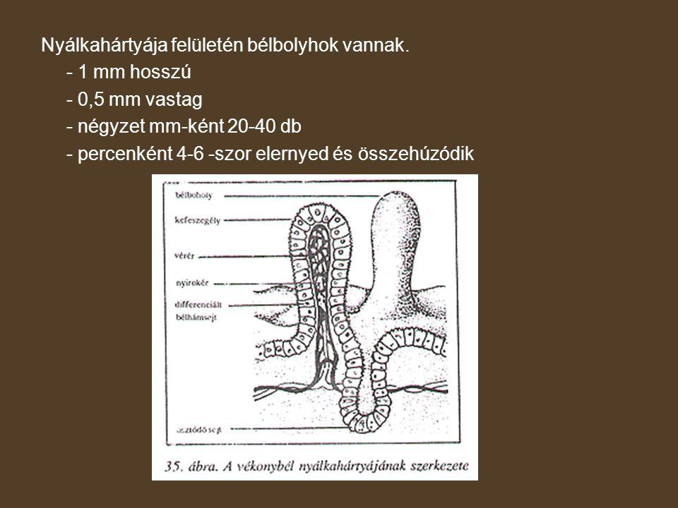 Nyálkahártyája felületén bélbolyhok vannak. - 1 mm hosszú - 0,5 mm vastag - négyzet mm-ként 20-40 db - percenként 4-6 -szor elernyed és összehúzódik