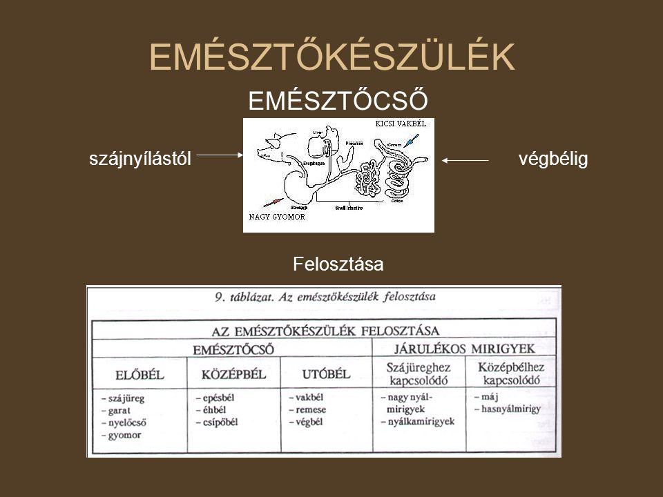 Utóbél (vastagbél) Szakaszai: - vakbél – a lónál legnagyobb (30-40 liter) - remesebél: - erősen gurdélyozott - végbél: - erős záróizom zárja Nyálkahártyájának mirigyei csak mucint termelnek, nincsenek bélbolyhok rajta Feladata: - nehezen emészthető anyagok baktériumos bontása - vitaminok szintetizálása (B,K) - víz visszaszívás - bélsár kialakítása - salakanyagok eltávolítása