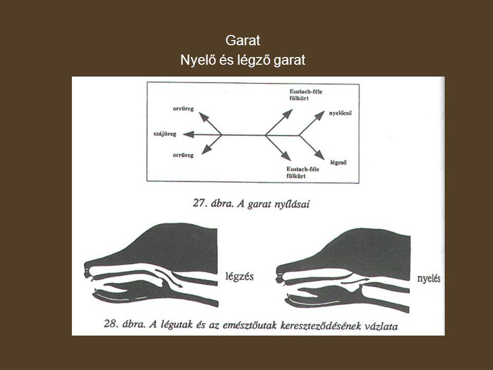 Nyelőcső Garatból nyílik – gyomorba szájadzik Szakaszai: - nyakiGörbületei: - nyaki - mellkasi - hasi - szív alap fölötti A görbületek mögött szűkületek vannak