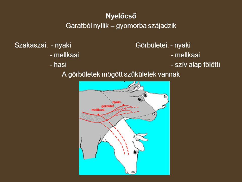 Nyelőcső Garatból nyílik – gyomorba szájadzik Szakaszai: - nyakiGörbületei: - nyaki - mellkasi - hasi - szív alap fölötti A görbületek mögött szűkület