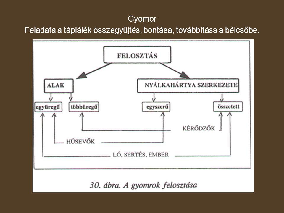 Együregű gyomor Felépítése: - nyálkahártya (belül) - izom - savóshártya (kívül)