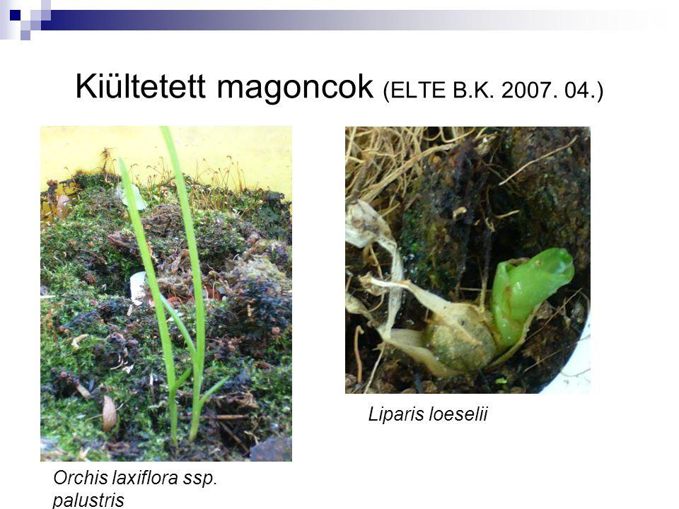 Kiültetett magoncok (ELTE B.K. 2007. 04.) Orchis laxiflora ssp. palustris Liparis loeselii